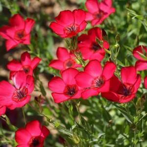 """Купить семена, растение – Лен крупноцветковый """"Ruby"""" (Linum grandiflorum)"""