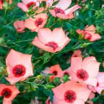 """Купить семена, растение – Лен крупноцветковый """"Глазки"""" (лососевый)"""