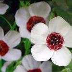 """Купить семена, растение – Лен """"Глазки"""" (белый с красным)"""