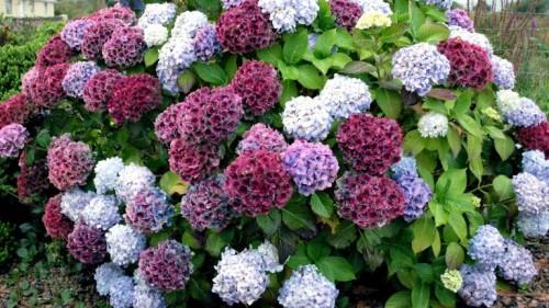 Гортензия — красавица в саду