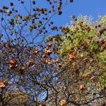 Купить семена, растение – Птелея трехлистная (Рtelea trifoliata)