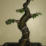 Купить семена,растение – Вяз мелколистный (Ulmus parvifolia)