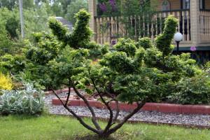 Дерево вяз- краткое описание, виды, где растет