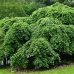 Купить семена,растение – Вяз шершавый (Ulmus glabra)