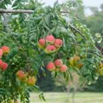Купить семена, растение – Рябина Домашняя (Sorbus domestica)
