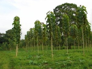 Купить семена, растение – Тик, или Тиковое дерево (Tectona grandis)