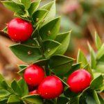 Купить семена, растение – Иглица понтийская (Ruscus aculeatus)