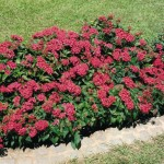 Купить семена, растение – Пентас Египетская звезда F1 (красный)