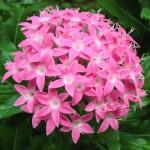 Купить семена, растение – Пентас Египетская звезда F1 (лавандовый)