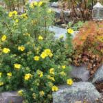 Купить семена,растение – Лапчатка кустарниковая Примрозе Бьюти