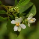 Купить семена, растение – Кардиоспермум халикакабский (Cardiospermum halicacabum)