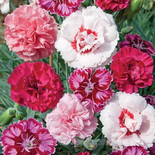 Купить семена, растение – Гвоздика перистая махровая Соната (Dianthus plumarius)
