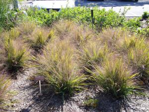 Купить семена, растение – Полевичка видная (Eragrostis spectabilis)