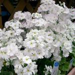 Купить семена, растение – Примула Малакоидес (Рrimula malacoides)