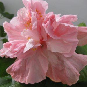 Купить семена, растение – Гибискус розовый, махровый (Hibiscus syriacus)