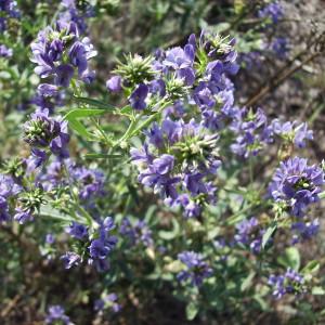 Купить семена, растение – Люцерна посевная (Medica sativa)