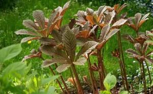 Купить семена, растение – Роджерсия  (Rodgersia aesculifolia)