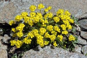 Купить семена, растение – Драба вечнозеленая (Draba aizoides)