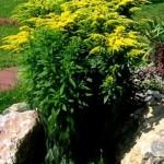 Купить семена, растение – Солидаго или Золотарник (Solidago virgaurea)