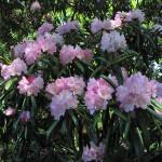 Купить семена, растение – Рододендрон Макино (Rhododendron makinoi)