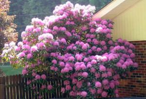 Купить семена, растение – Рододендрон Смирнова (Rhododendron smirnowii)