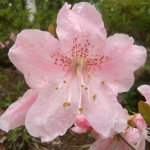 Купить семена, растение – Рододендрон Шлиппенбаха (Rhododendron schlippenbachii)