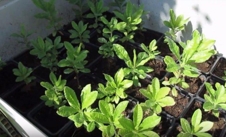 Посадка семян Рододендрона