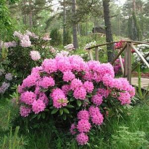 Купить семена, растение – Рододендрон Haaga (Rhododendron Haaga)