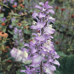 Купить семена, растение – Шалфей мускатный (Salvia sclarea)