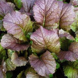Купить семена, растение – Горчица листовая Сакаи (Brassica juncea)