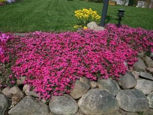 Купить семена, растение – Чабрец Пурпур (Thymus serpyllum)