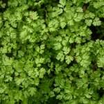 Купить семена, растение – Кервель ароматный (Anthriscus cerefolium)