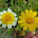 Купить семена, растение – Хризантема съедобная (Chrysanthemum Coronarium)