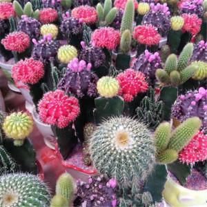 Купить семена, растение – Кактус (смесь видов)