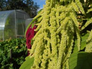 Купить семена, растение – Амарант овощной Крепыш (Amaranthus)