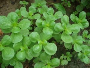 Купить семена, растение – Портулак овощной (Portulaca oleracea)