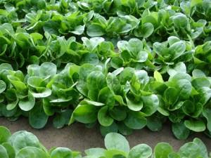 Купить семена, растение – Валерианелла Монетки (Valerianella locusta)