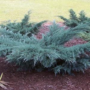 Купить семена, растение – Можжевельник виргинский Грей Оул (Juniperus virginiana Grey Owl)