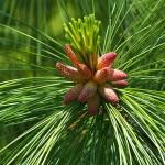 Купить семена, растение – Сосна Веймутова (Pinus strobus)