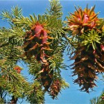 Купить семена, растение – Псевдотсуга Мензиса (Pseudotsuga menziesii)