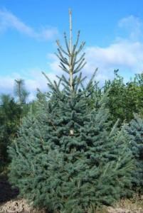 Купить семена, растение – Ель Энгельмана (Picea engelmannii)