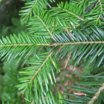 Купить семена, растение – Пихта белая (Abies alba)