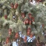 Купить семена, растение – Ель Сизая, или Канадская (Picea glauca)