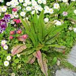 Купить семена, растение – Щавель декоративный Гамма (Rumex patientia)