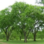 Купить семена,растение – Вяз гладкий (Ulmus laevis)