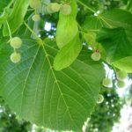 Купить семена, растение – Липа крупнолистная (Tilia platyphyllos)