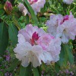 Купить семена, растение – Рододендрон Форчуна (Rhododendron fortunei)