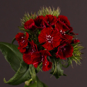 Купить семена, растение – Гвоздика турецкая F1 Dark Cherry (Dianthus barbatus)