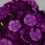 Купить семена, растение – Гвоздика турецкая Фиолетовая горка (Dianthus barbatus)