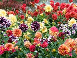 Купить семена, растение – Георгина Вотан (Dahlia variabilis)